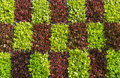 Vertical vegetable gardening garden with green oak lettuce and red oak lettuce growing in a pattern Royalty Free Stock Photo
