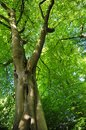 Vertical view of a tall old beech tree on a spring morning with vibrant green leaves with blue sky and sunlight shining through Royalty Free Stock Photo