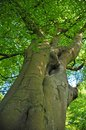 Vertical view of a tall old beech tree on a spring morning with vibrant green leaves with blue sky and sunlight shining trhough Royalty Free Stock Photo