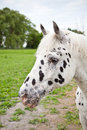 Verticale d'Appaloosa Images stock
