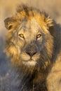 Verticale d'un lion mâle, Afrique du Sud Images libres de droits
