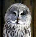 Verticale de hibou de gris grand Photo stock