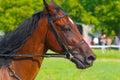 Verticale du beau cheval brun du profil Photo libre de droits
