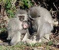 Vervet green monkeys cercopithecus aethiops mountain zebra national park south africa Stock Photography