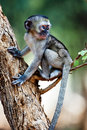 Vervet monkey Stock Image