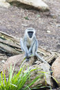 Vervet monkey african resting and watching Royalty Free Stock Image