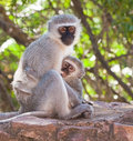 Vervet monkey with baby Stock Image