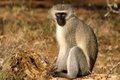 Vervet monkey chlorocebus pygerythrus in kruger national park south africa Stock Photo