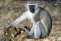 Vervet monkey chlorocebus pygerythrus in kruger national park south africa blouaap Royalty Free Stock Photography