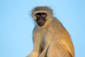 Vervet monkey portrait of a cercopithecus aethiops agains a blue sky south africa Royalty Free Stock Photo
