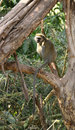 Vervet monkey resting on a tree branch sitting looking at me Royalty Free Stock Photos