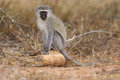 Vervet monkey sit on rock while forage for food in nature Royalty Free Stock Photos