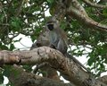 Vervet monkey sitting on a bough low angle shot of in uganda africa Royalty Free Stock Image