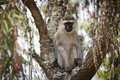 Vervet Monkey in tree Royalty Free Stock Image