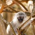 Vervet monkey watching me a chlorocebus pygerythrus watchiing us while we wait managed to steal a banana from our table vervets Stock Photos