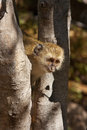 Vervet monkey a young cercopithecus aethiops in the okavango delta in botswana Stock Photography
