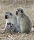 Vervet Monkeys Stock Photos
