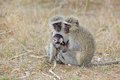 Vervet monkeys green cercopithecus aethiops with a baby in the kruger national park south africa Royalty Free Stock Photography