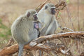 Vervet monkeys green cercopithecus aethiops with a baby in the kruger national park south africa Stock Image