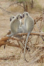 Vervet monkeys green cercopithecus aethiops socializing in the kruger national park Royalty Free Stock Photo