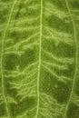 Verwarde oppervlakte van een groen blad met een patroon van aders als achtergrond Royalty-vrije Stock Foto