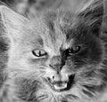 Very bad kitty look beast Royalty Free Stock Photo
