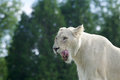 Very beautiful portrait of a white lion with the open mouth Royalty Free Stock Photo
