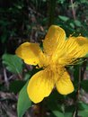The very beautiful and pretty  Yellow  petal flower. Royalty Free Stock Photo