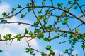 Very beautiful spring and summer background, young branches against the blue sky with clouds and gently green leaves of black curr Royalty Free Stock Photo
