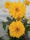 The very beautiful yellow petal flower. Royalty Free Stock Photo