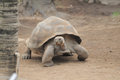 Very big brown tortoise on a brown floor Royalty Free Stock Photo