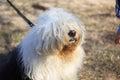 Very big very shaggy, faithful, kind service dog.