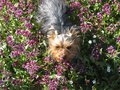 Very cute dog Yorkshire terrier between flowers Royalty Free Stock Photo