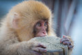 Very cute little japanese snow monkey Stock Photography