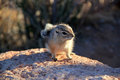 Very cute rodent living in grand canyon usa Stock Image