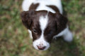 A very cute young liver and white working type english springer spaniel pet gundog puppy Royalty Free Stock Photo