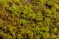 Green moss texture Royalty Free Stock Photo