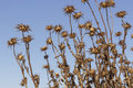 Very Dried Thistles On Blue Sky