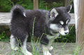 Very Fluffy Alusky Puppy Dog Standing on Wood Royalty Free Stock Photo