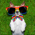 Very funny gay dog super lying on back on green grass looking cool Royalty Free Stock Photo