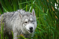 Very good dog a cross between husky and wolf Royalty Free Stock Photo