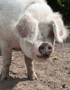 Very hairy pink pig Royalty Free Stock Photos