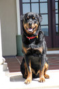 A very happy rottweiler sitting shot of smiling dog Stock Images