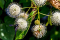 A very interesting closeup of the spiky nectar laden globes blooms of a wild button bush with a black bee cephalathus occidentalis Royalty Free Stock Photos