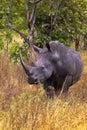 Very large rhino. Meru park. Royalty Free Stock Photo