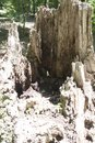 Hollow stump showing weathering Royalty Free Stock Photo