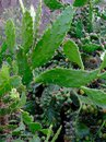 Very Long Sharp Thorns on Prickly Pear Cactus Leaves