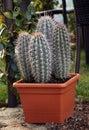 Very Nice Multi-cactus Flower