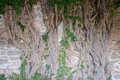 Very Old Ivy Tree