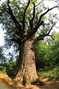 very old oak tree Royalty Free Stock Photo